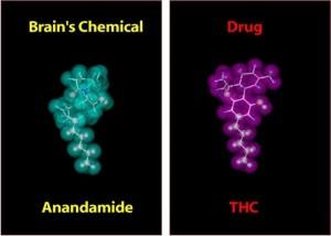 thc_anandamide